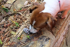 Found it! (fairyduff) Tags: puppy dog easter eggs hunt cute jackrussell diy craft adorable delicious