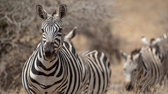 Nairobi-Nationalpark-April-9820 (ovg2012) Tags: africa afrika canon commonzebra equusquagga kenia kenya nairobinationalpark reisefotografie safari steppenzebra wildlife animal nature travelphotographer wild wildlifephoto wildlifephotography