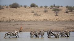 Nairobi-Nationalpark-April-9939 (ovg2012) Tags: africa afrika canon commonzebra equusquagga kenia kenya nairobinationalpark reisefotografie safari steppenzebra wildlife animal nature travelphotographer wild wildlifephoto wildlifephotography