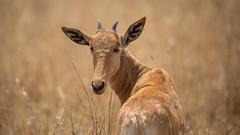 Nairobi-Nationalpark-April-0235 (ovg2012) Tags: africa afrika alcelaphusbuseaphus canon coke´shartebeest hartebeest kenia kenya kongonin kuhantilope nairobinationalpark reisefotografie safari wildlife animal nature travelphotographer wild wildlifephoto wildlifephotography
