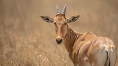 Nairobi-Nationalpark-April-0239 (ovg2012) Tags: africa afrika alcelaphusbuseaphus canon coke´shartebeest hartebeest kenia kenya kongonin kuhantilope nairobinationalpark reisefotografie safari wildlife animal nature travelphotographer wild wildlifephoto wildlifephotography
