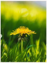 Dandelion (frosty22727@sbcglobal.net) Tags: spring blossom petal bloom petals instablooms sopretty instapickblossom flowerslovers botanical blooms floweroftheday flowermagic floral flowerstagram florals flowersofinstagram flowerporn plants flowerstylesgf springtime flower winter primavera