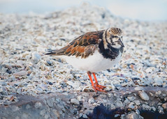 Rudy Turnstone (lablue100) Tags: rudyturnstone birds bird colors beach shells animals shorebirds beauty feathers nature water sea landscapes legs
