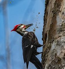Work, Work & More Work (AnthonyVanSchoor) Tags: howardcountymd howardcountybirdclub patapscovalleystatepark pileatedwoodpecker marylandbiodiversityproject marylandbirding