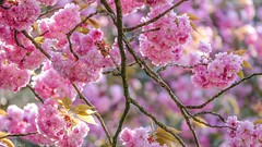 Happy Easter -Blossom - 6707 (ΨᗩSᗰIᘉᗴ HᗴᘉS +62 000 000 thx) Tags: sliderssunday blossom flora flower ping spring easter hensyasmine hff