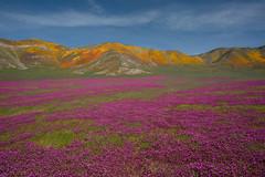 When It Rains, It Blooms (jojo (imagesofdream)) Tags: kerncounty california landscape wildflowers 2019superbloom landscapephotomag natgeo nationalgeographic nikon nikonusa