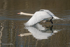 Mute Swan - the female was not impressed (2 of 3) 501_7562.jpg (Mobile Lynn) Tags: takeoff wildfowl muteswan birds swan nature anseriformes bird cygnusolor fauna wildlife estuaries freshwater lagoons lakes marshes ponds waterfowl webbedfeet hurst england unitedkingdom