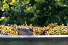 Fauvette à tête noire (sfrancois73) Tags: oiseau jardin fauvetteàtêtenoire affût