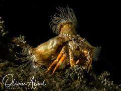 BALI18_Macro_IMG_6288-MDive1 (oalard) Tags: g16 fantasea retra bali indonesia submarinephotography photosousmarine plongees plongee dive diver