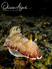BALI18_Macro_IMG_6100-MDive1 (oalard) Tags: g16 fantasea retra bali indonesia submarinephotography photosousmarine plongees plongee dive diver nudibranche