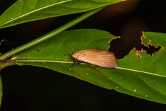DSC_5554 (Adrian Royle) Tags: malaysia tamannegara travel holiday nature wildlife insect lepidoptera moth macro nikon outdoors forest