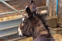 Mead Open Farm (Ashley Middleton Photography) Tags: animal bedfordshire billington donkey england europe mammal meadopenfarm unitedkingdom