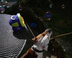 P1430366 (businessofferrets) Tags: harold dog staffy sheffielddogrescue