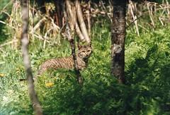 chat sauvage (alaincousinet) Tags: chat sauvage ariege alain acousinet nature animaux midipyrénné occitanie verdure reservenaturelle sigma150600sport sigma canon canoneos5dmarkiii