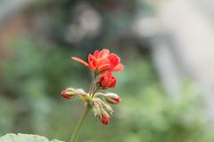 _1011182.jpg (plasticskin2001) Tags: flower micronikkor f28s ai 55mm