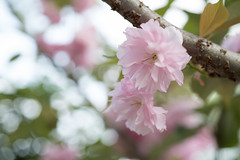 _1011203.jpg (plasticskin2001) Tags: flower sakura micronikkor f28s ai 55mm