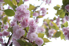 _1011205.jpg (plasticskin2001) Tags: flower sakura micronikkor f28s ai 55mm