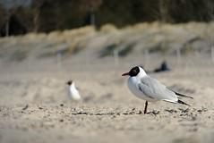 Gull (scosu42) Tags: beach gull möwe strand usedom