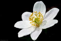 Anémone des Bois (Phil du Valois) Tags: anémonedesbois anémone bois fleur sauvage forêt anemone nemorosa anthère