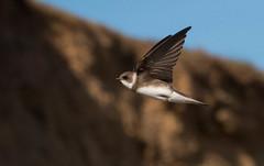 Sand Martin (Chris.Small) Tags: bird rspb nature wildlife teesside cleveland marske redcar martin sandmartin hirundine