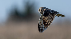 Into the light (irelaia) Tags: light short eared owl nearly time go home wild bird