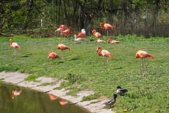 20.04.2019 12-31-1200 (TheFan1968) Tags: berlin tierpark friedrichsfelde tier flamingo