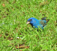male indigo bunting32 (Patricia Pierce) Tags: indigobunting bunting alabama alabamawildlife alabamabackyardwildlife audubon mobilealabama nationalwildlifefederation thenatureconservancy backyardwildlife nationalgeographic