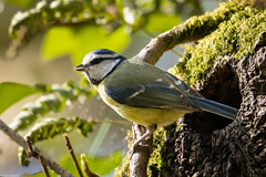 Blue Tit at its Nest (PedroLanders) Tags: yelverton denhamwoods devon berealston bird nest