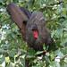 Crested Guan, Penelope purpurascens Ascanio_Best Costa Rica 199A9893