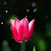 Fresh Pink Tulip