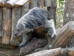Binturong (3) (Mhln) Tags: ménagerie zoo zoologique parc park paris france 2019 animaux sauvages préservation