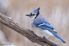 Blue Jay (Explored 4/21/19) (Danielirons02) Tags: