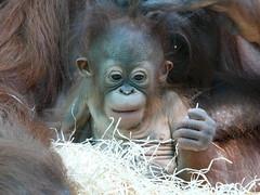 Java (2) (Mhln) Tags: ménagerie zoo zoologique parc park paris france 2019 animaux sauvages préservation orangoutan orangsoutans