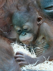 Java (1) (Mhln) Tags: ménagerie zoo zoologique parc park paris france 2019 animaux sauvages préservation orangoutan orangsoutans