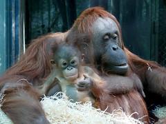 Théodora et Java (8) (Mhln) Tags: ménagerie zoo zoologique parc park paris france 2019 animaux sauvages préservation orangoutan orangsoutans