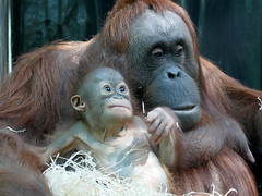 Théodora et Java (6) (Mhln) Tags: ménagerie zoo zoologique parc park paris france 2019 animaux sauvages préservation orangoutan orangsoutans
