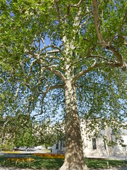 Platane d'Orient planté en 1785 (Mhln) Tags: ménagerie zoo zoologique parc park paris france 2019 animaux sauvages préservation arbre remarquable tricentenaire platane