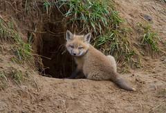 Red Fox Kit (Brenda HF) Tags: kit fox
