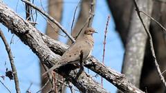 Tree Dove (blazer8696) Tags: img5298 brookfield connecticut unitedstates 2019 bird columbidae columbiformes ct dove ecw macroura modo mourning mourningdove obtusehill t2019 tabledeck usa zenaida zenaidamacroura zenmac