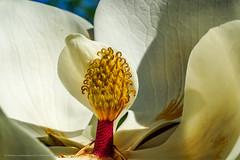 Magnolia Carpels and Stamen on full display (JeffreyJDavis) Tags: flowers magnolia sonya7iii sonyalpha nature naturephotography flora