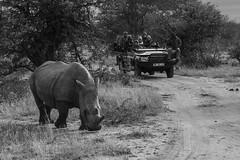 White Rhino (joseaugustombm) Tags: africa rhino safari gamedrive white whiterhino animal wild wildness nature thornybushgamereserve limpopo áfricadosul