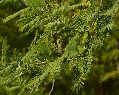 January, 26 - Buds (lebre.jaime) Tags: portugal beira covilhã forestpark buds nikon d600 afnikkor28853545 ff fx fullframe affinity affinityphoto