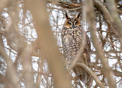 Long Eared Owl (NicoleW0000) Tags: longearedowl owl birdofprey bird wild wildlife nature outdoors ontario