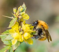 Bee (Dibbly Dobbler) Tags: sonyrx10iii bee