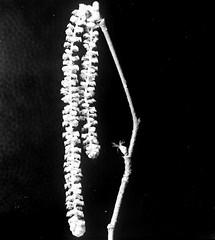 Corylus avellana L. Gemeine Hasel  common hazel (Spiranthes2013) Tags: kfwolfstetter scan deutschland diaarchiv diascan germany becker bayern bavaria unterfranken lowerfranconia lkmiltenberg 1991 6x6dias 6x6 plant pflanze pflanzendias plantae angiospermen angiosperms eudicots eudicosiden kerneudikotyledonen coreeudicots nature natur asteriden asterids euasteriden euasterids corylusavellana commonhazel corylusavellanal gemeinehasel rosiden rosids fagales betulaceae corylus eurosiden buchenartige eurosids birkengewächse coryloideae haselnussgewächse hasel