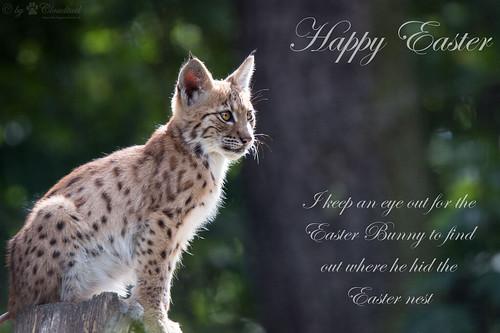 Easter lynx