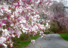 Magnolia (JMS2) Tags: spring flowers magnolia pink blossom park scenic nature