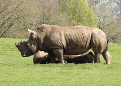 A day at Whipsnade Zoo (ricksterg) Tags: rhinoceros rhino horn white african herbivorous mammals indian black