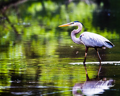 (crfleury) Tags: crfleury 2019 7d canon tamron 150600f5663vcg2 nature wildlife raleigh nc bird heron greatblueheron