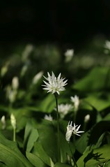 wild garlic (simon edge) Tags: nikon d5100 55300mm nikkor garlic flowers shallowdepthoffield shallowdof